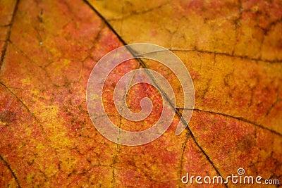 Feche acima das veias da folha