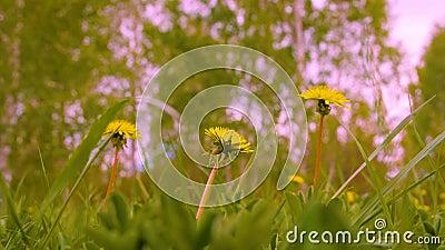 Feche acima de florescer dentes-de-leão amarelos no campo verde no dia de verão filme