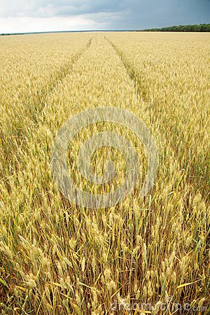 Feche acima do tiro da haste do trigo