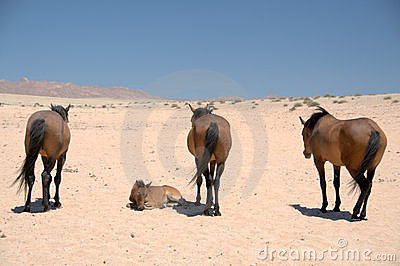 Wild Horses of the Namib Desert - Namibia