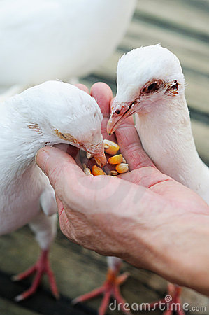 Feed white pigeon