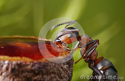 Feeding ant with sweet honey