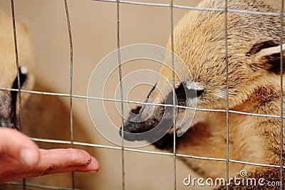 Feeding baby coati