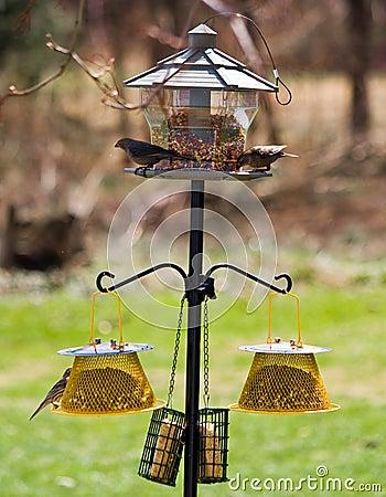 Free Feeding Backyard Birds Royalty Free Stock Photography - 14444097
