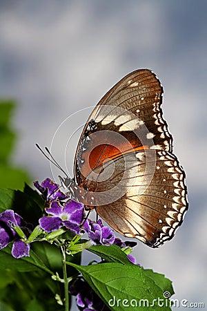 Free Feeding Butterfly Stock Photos - 16969143