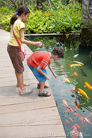 feeding colorful Koi carps in tropical pond.
