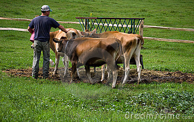 Feeding Cows Editorial Stock Image
