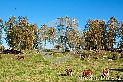 Feeding cows.