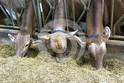 Feeding cows