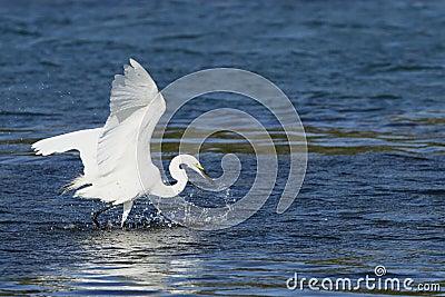 Feeding Egret