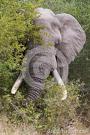 Free Feeding Elephant Royalty Free Stock Photography - 26374297