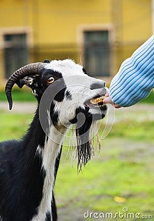 Feeding goat by bread