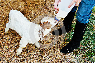 Feeding a goat on the farm