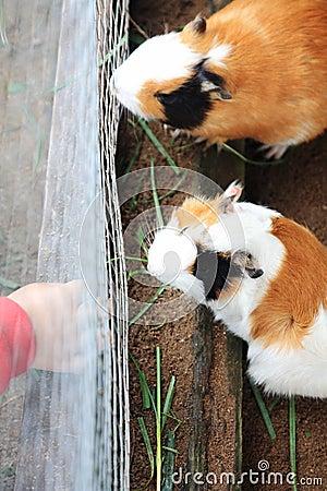 Feeding Guinea Pigs