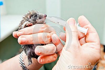 Feeding Hedgehog Stock Images Image 33333844