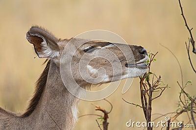 Feeding kudu