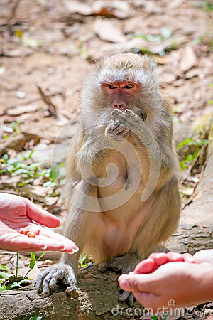 Feeding Macaque monkey in Thailand