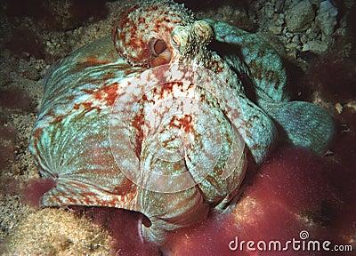 Feeding octopus