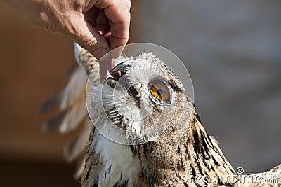 Feeding owl