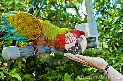 Feeding the parrot