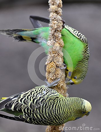 Free Feeding Parrots Royalty Free Stock Image - 27038826