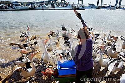 Feeding the pelicans Editorial Stock Image