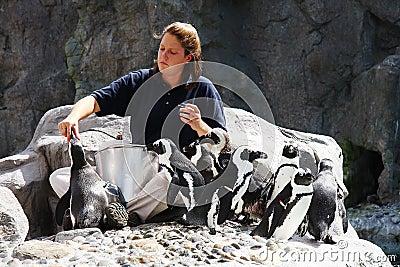Feeding Penguins Editorial Image