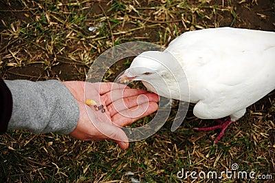 Feeding pigeon