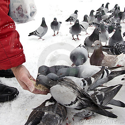 Free Feeding Pigeons In Winter Stock Photography - 7178202