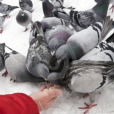 Free Feeding Pigeons In Winter Royalty Free Stock Photography - 7178317