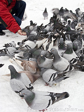 Feeding pigeons in winter
