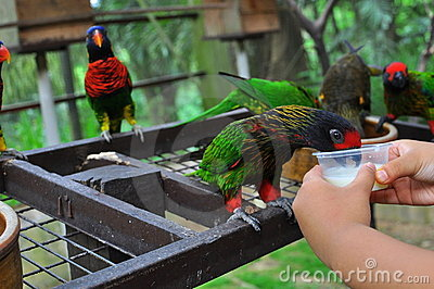 Feeding a rainbow lorikeet with milk
