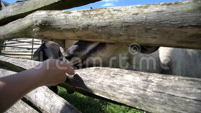 Feeding Sheep in the educational Butser Ancient Farm. At Waterlooville, United Kingdom stock footage