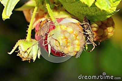 Feeding  Shield-Bugs on Rasberries