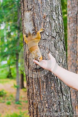 Feeding of the squirrel