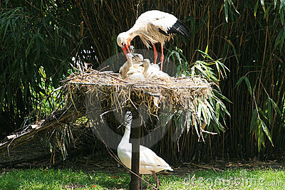 Feeding stork and chickens