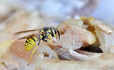 Feeding wasp