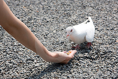 Feeding white pigeon
