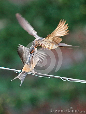 Free Feeding Young Swallow Stock Images - 64385134