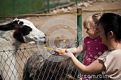 Feeding zoo llama