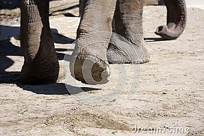 Feet of elephant walking