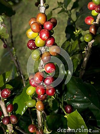 Feijões de café havaianos.