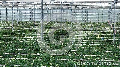 Feixes, linhas molhando e fileiras da flor indo acima à parede da estufa 4K vídeos de arquivo