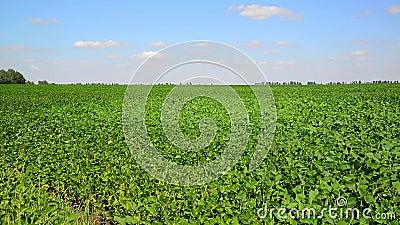 Feld der grünen Bohne am sonnigen Tag stock video footage