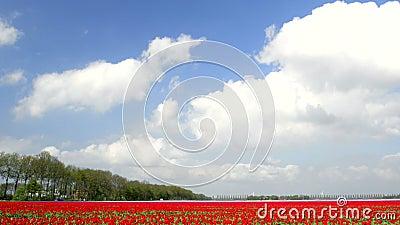 Feld von Tulpen