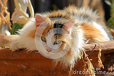 Feline Calico