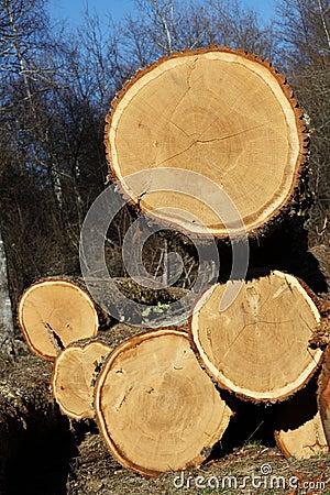 Felled Oak Trees For Timber