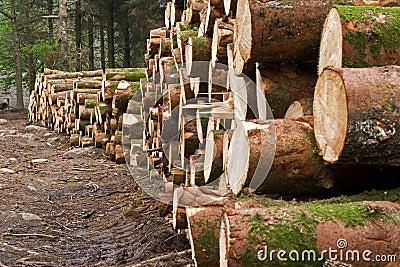Felled pine trees