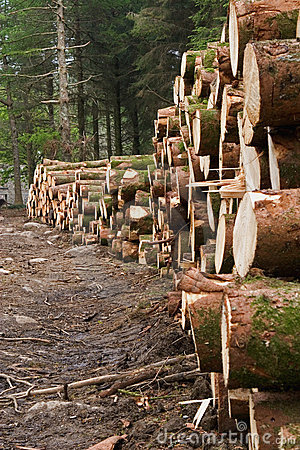 Felled pine trees