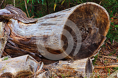Felled Tree